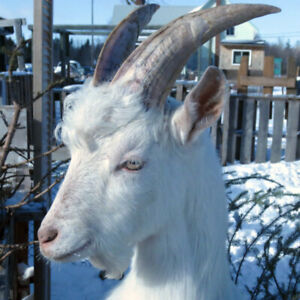 Billy, the Goat - $175