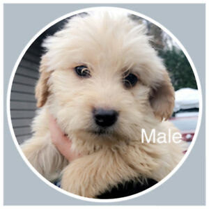 3 apircot male labradoodle puppies left ready to go