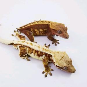 Designer Crested Geckos