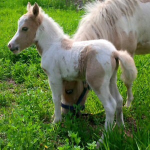 poulain poney miniature