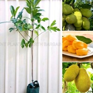 Jackfruit Fruit Trees Plants Perth