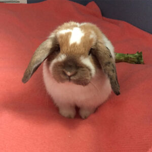 holland x mini lop rabbit for sale