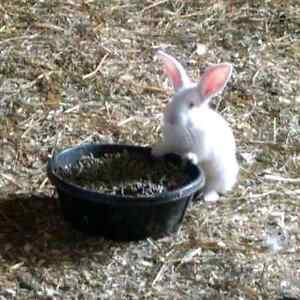 New Zealand Meat Rabbits - Large litters, commercial lines