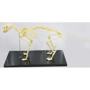 Feline Skeleton Anatomical Model Standard Size Veterinary Speciality Model 220312