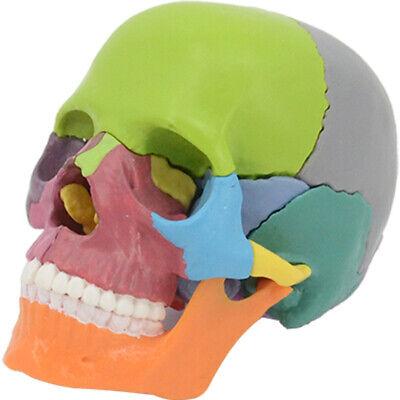 Mini Skull Model Anatomical Human Skull Model Medical Skeleton Anatomy 1pc
