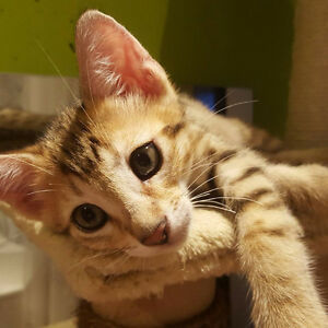 Super Cute Bengal Kittens :) Ready to be re-homed this weekend!