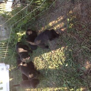 Lab x Bernese Mountain Dog Puppies For Sale
