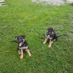 German Shepherd puppies, (pure bred)