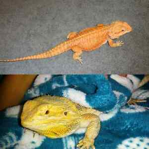 Red Leatherback & Citrus Hypo Bearded Dragons with everything  Peterborough Peterborough Area image 2