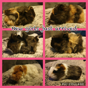Female baby guinea pigs