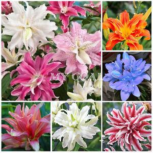5Pcs Lilium Lily Oriental 'Doubles Mixed' Summer Bulbs Flower Decor Plant Beauty