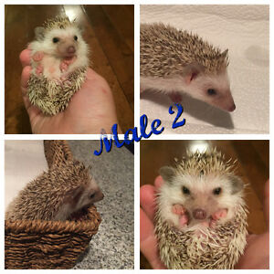 Cute Baby Hedgehogs looking for families Nov. 1st Kawartha Lakes Peterborough Area image 3