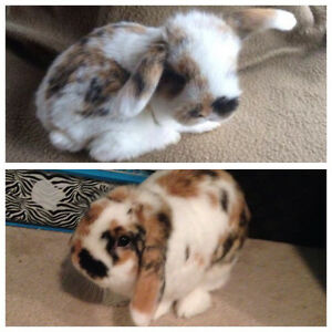 2y/o Holland Lop for sale