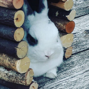 Very cute,2 years old , spayed and litter trained female rabbit