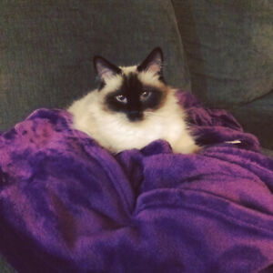 Ragdoll cat to rehome