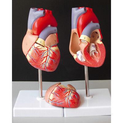 Anatomical Human Life Size Heart Model Medical Cardiovascular Anatomy