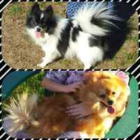 Upcoming litter of Pomeranian purebred
