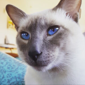 Beautiful Siamese to a GOOD home