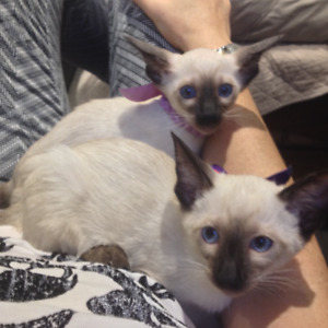 Kittens SIAMESE available for Sale! 416-656-2541 PickUp _NoEmail