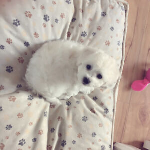 Updated on April 15: Bichon Frise puppies looking for new homes