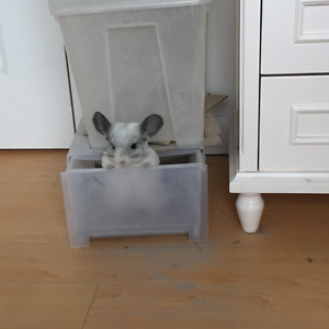 Chinchilla Male and female