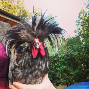 Funky polish roosters