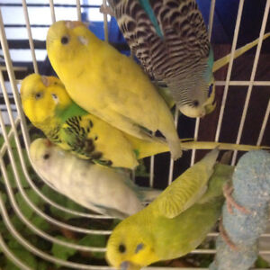 Budgies for sale with cage and accessories