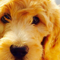 Golden doodle puppies!!