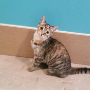 OCTAVIA, chaton femelle tabby rousse à poil court