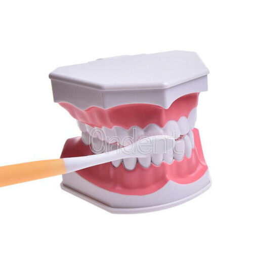 Dental Giant Teeth Anatomy Brushing Study Model with Toothbrush for Children