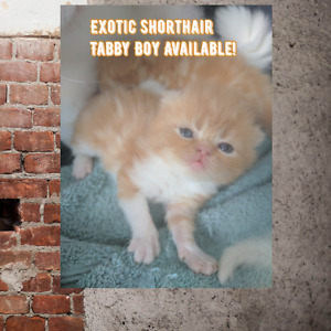 Purebred Persian Kittens Available !!
