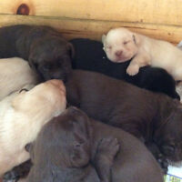 Lab Puppies, great family pets