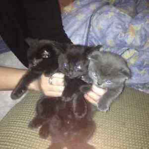 3 kittens free to good homes