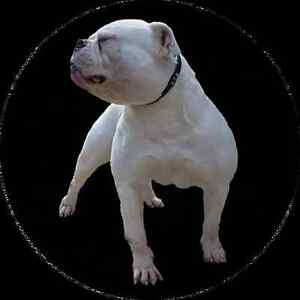 Classic american bulldog pups for sale