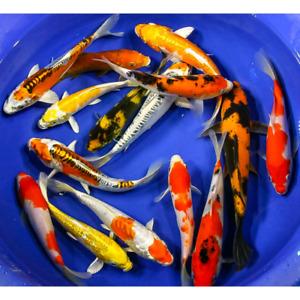 koi et poissons rouges recherchés