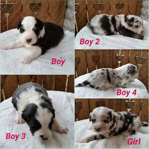 Austrailan puppys