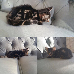 F6 Savannah Kitten available for 2400 with breeding rights