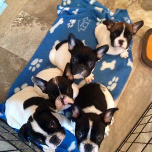 French bulldog puppies 3 still available :)