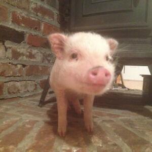 Mini Pig ForSale!!!!