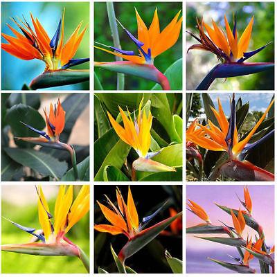 New 10pcs Rare Strelitzia Reginae Flower Seeds Bird of Paradise Tropical Plant