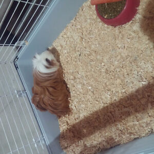Long haired guinea pig with cage .