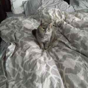 Missing Grey female cat Idlewood kitchener