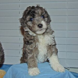 Mini F1B Golden Doodle Puppies (Experienced Home Breeder)