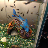 Dalmatian Molly Fry for sale!