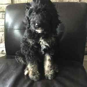 Goldendoodle puppies Medium 35-55 lbs  F1B allergy/shed friendly