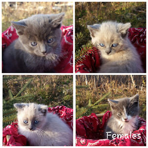 Kittens for sale Regina Regina Area image 3