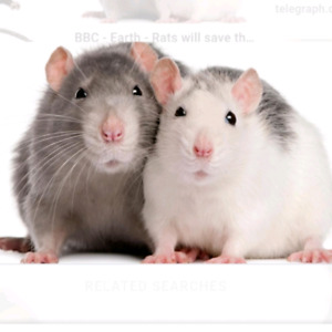 Looking for a pair of breeder rats !