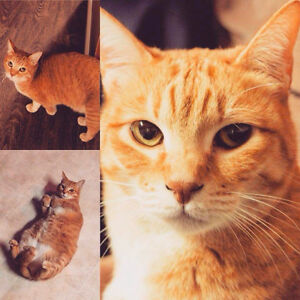 Lost Orange Cat - Please Read Description
