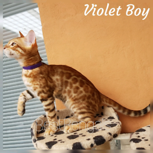 Show/breeder quality Bengal kitten with sweetest temperament