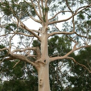 LEMON EUCALYPTUS TREE Mosquito Repellent Corymbia citriodora Scented Gum Plant
